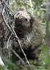 Porcupine, So Llano SP, 05/01/2013. UGLY, isn't he/she.