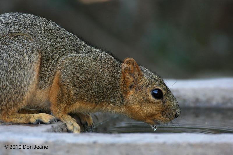 Fox Squirrel, Agarita blind, 11/29/10. Aaaaahh!