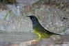 MacGillivray's Warbler, Agarita Blind, 5/4/2010.