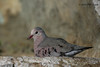 Common Ground Dove, Lora's Blind, 5/6/2010.