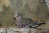 Common Ground Dove, Lora's Blind, 5/6/2010.