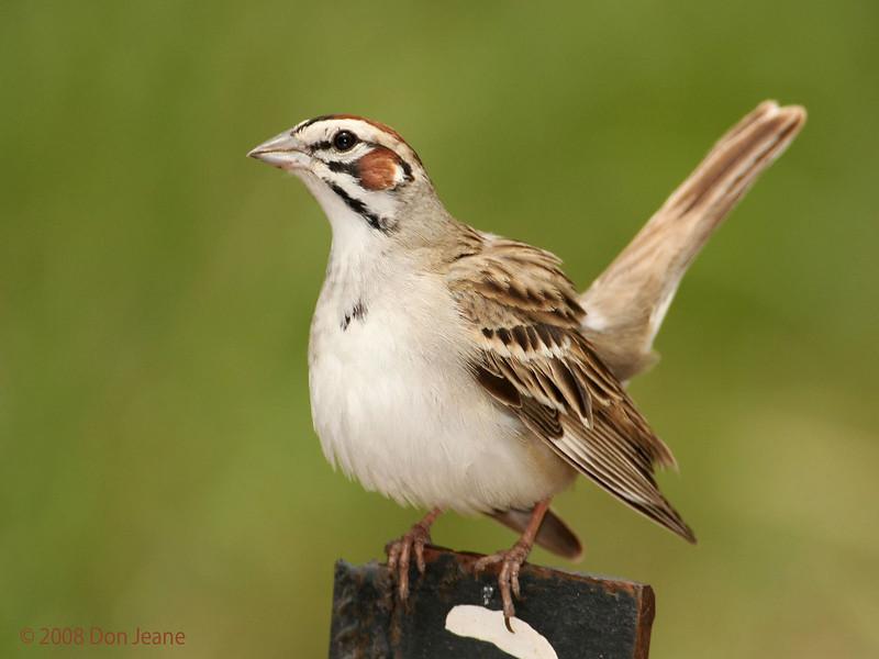 Displaying Lark Sparrow. 5/6/2008.