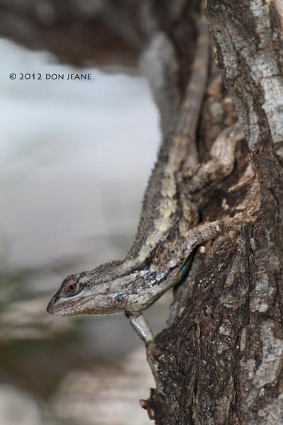 Texas spiny lizard, So Llano River SP, 05/03/2012.