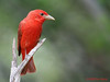 Male Summer Tanager. 5/5/2008.