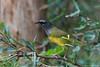 MacGillivray's Warbler, Agarita Blind, 04/28/2017. Last afternoon, almost missed him.