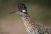 Greater Roadrunner, Lora's Blind, So Llano SP, 04/30/2013.
