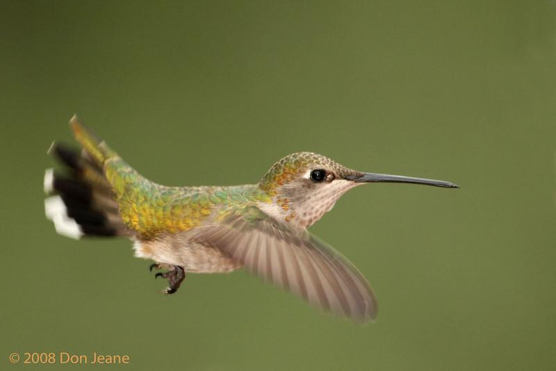 Rufous Hummingbird, 5/6/2008.