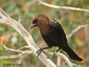 Brown-headed Cowbird, 05/05/2008.