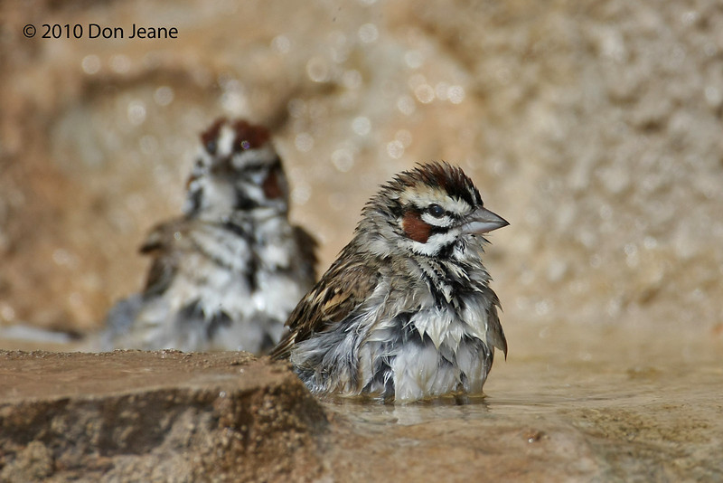 Lark Sparrows. Agarita Blind, 5/6/2010.