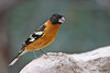 Black-headed Grosbeak, Agarita Blind, So Llano SP, 05/01/2013.