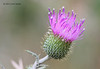 Purple Thistle, So Llano River SP, 05/03/2012.