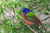 Male Painted Bunting, Agarita Blind, 04/26/2017.