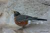 American Robin, 11/10/2011.