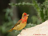 Immature male Summer Tanager. 5/6/2008.
