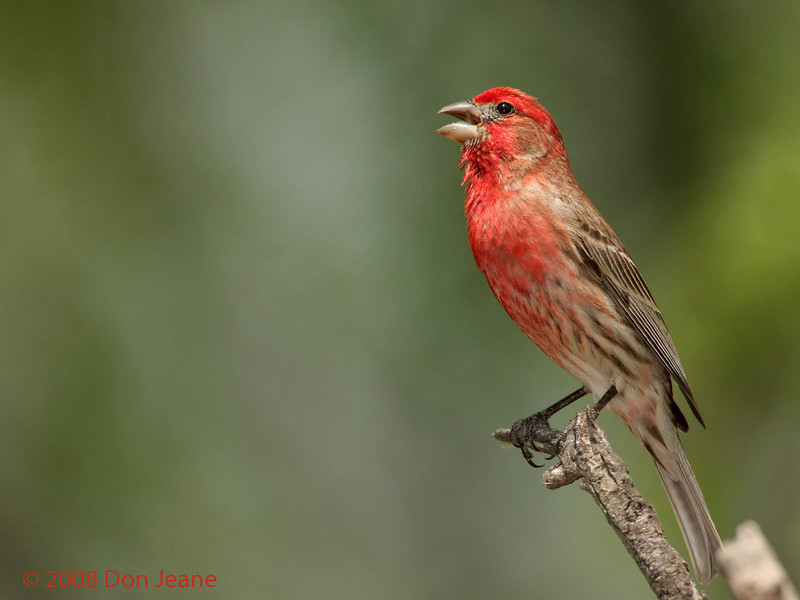 Singing House Finch. 5/6/2008.