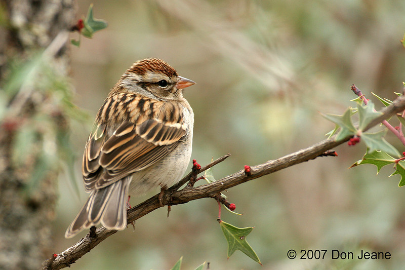 Chipping Sparrow, S Llano River SP. 2/8/2007.