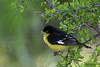 Lesser Goldfinch, Agarita Blind, 5/4/2010.