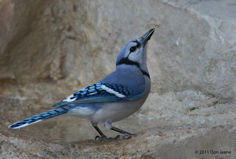 Blue Jay, 11/10/2011. First time I've seen this species in the park. Juniper blind.