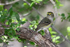 White-eyed Vireo, Lora's Blind, 05/02/2012.