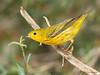 Yellow Warbler. 05/06/2008.