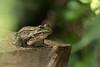 Leopard Frog. 5/7/2008.
