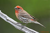 House Finch. 5/5/2008.