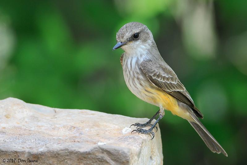 Female Vermilion Flycatcher, Acorn Blind, 04/25/2017.