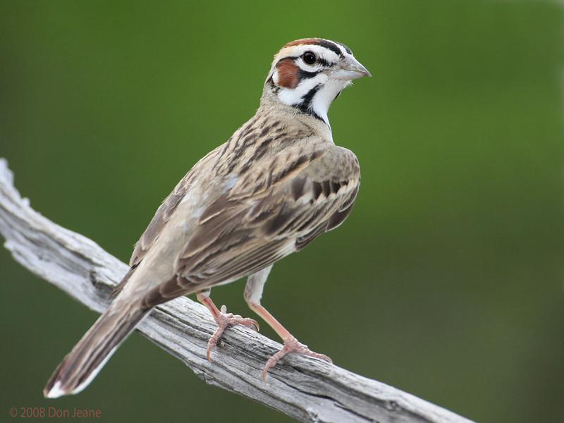 Lark Sparrow. 5/9/2008.