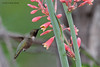 Male Black-chinned Hummingbird,  Acorn blind, 05/03/2012.