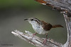 Carolina Wren, Lora's Blind, 5/6/2010.