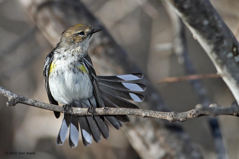 Yellow-rumped Warbler, Acorn blind, Feb 13, 2013.