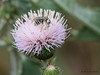 White Thistle with bee, So Llano River SP, 05/03/2012.