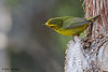 Wilson's Warbler, Agarita Blind, So Llano SP, 04/29/2013.