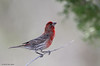 House Finch, Juniper Blind, 04/29/2014.