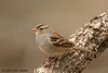 Immature White-Crowned Sparrow, S Llano RIver SP. 2/8/2007.