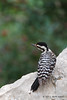 Female Ladder-backed Woodpecker, Lora's Blind, 05/02/2012.