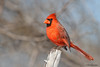 Northern Cardinal, Acorn blind, Feb 13, 2013.