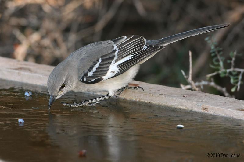 Northern Mockingbird, Juniper blind, 12/01/10. Testing the ice - 14 degrees this morning.