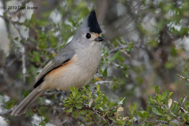 Black-crested Titmouse, Agarita blind, 11/29/10.