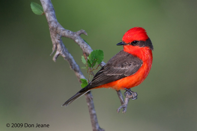 Male Vermilion Flycatcher, 5/28/2009.