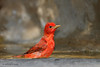 Male Summer Tanager, Lora's Blind, 05/02/2012.