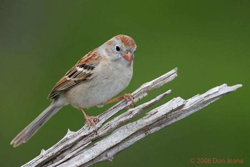 Field Sparrow. 5/5/2008.