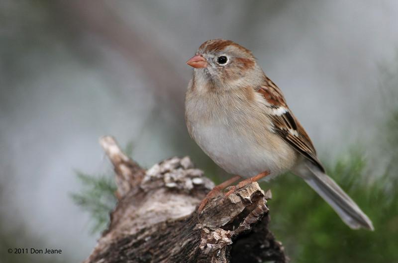 Field Sparrow, 11/08/2011.