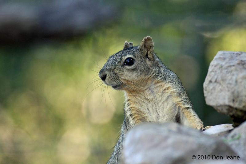 Dog-eared Squirrel, Agarita Blind, 5/4/2010.