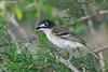 Female Black-Capped Vireo, Agarita Blind, 04/27/2017. A banner year for this little bird.