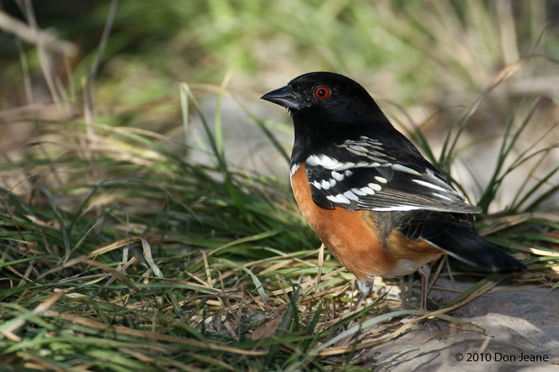 Spotted Towhee, Agarita blind, 12/01/10