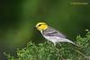 Golden-cheeked Warbler, Agarita Blind, 5/6/2010.