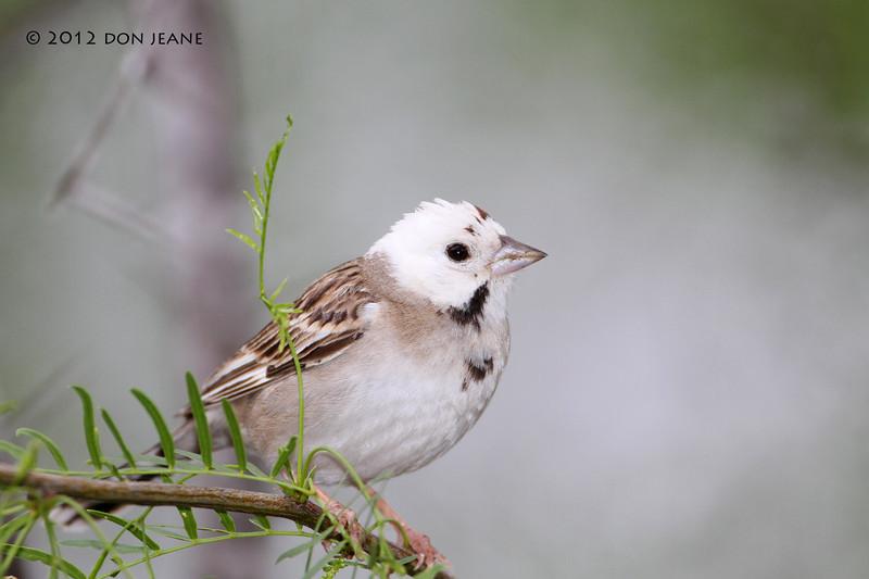 Leucistic Lark Sparrow, Acorn blind, 05/03/2012.