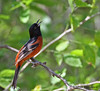 Singing male Orchard Oriole, Acorn Blind, So Llano SP, 05/01/2013.