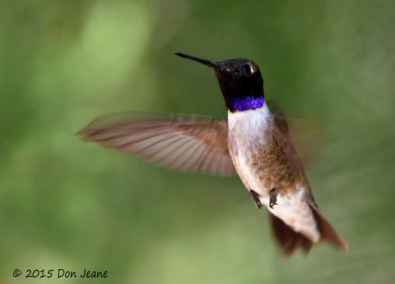Black-chinned Hummingbird, Agarita Blind, 04/30/2015.